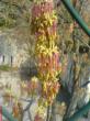 Blüte vom Eschenahorn