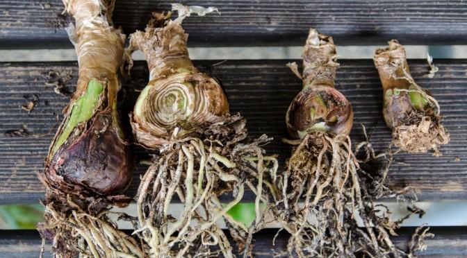Amarylliszwiebel einpflanzen