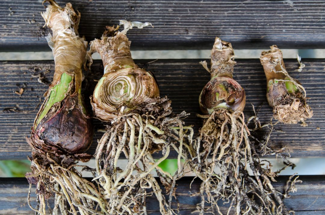Amarylliszwiebeln - im Garten ausgesetzt und von Schnecken angefressen.