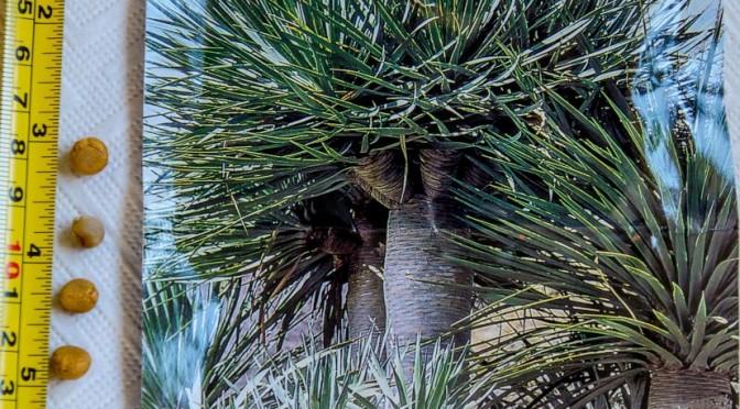 Drachenbaum (Dracaena Draco) – Aussaat
