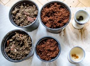 Musa Ensete ventricosum (oben) und Drachenbaum Dracaena Draco (unten) eingeweicht und mit vorbereiteten Pflanzgefäßen. Das erste ist mit einfacher Erde inkl. WUrzeln und Mulch gefüllt, das zweite mit Kokohum.