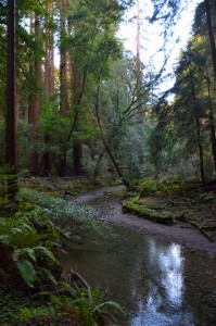 Diesem romantischen Bächlein (Redwood Creek) entlang schlängelt sich der Wanderweg durch die Muir Woods.