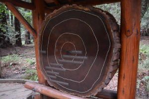 Querschnitt eines alten Mammutbaums