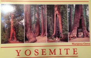 Wenn man im Winter so schwer an die Mammutbäume kommt, so habe ich mir zur Sicherheit diese Karte gekauft, um wenigsten ein paar Bilder davon zu haben. Außerdem wollte ich bestimmen, ob die großen Bäume am Straßenrand alle Sequoia Sempervirens waren. Ich glaube es waren welche. Wenn ihr im Yosemite National Park wart und wisst ob die langen Bäume mit rote, längsgeriefelter Rinde Küstenmammutbäume sind oder nicht, dann schreibt mir bitte einen Kommentar. Danke.
